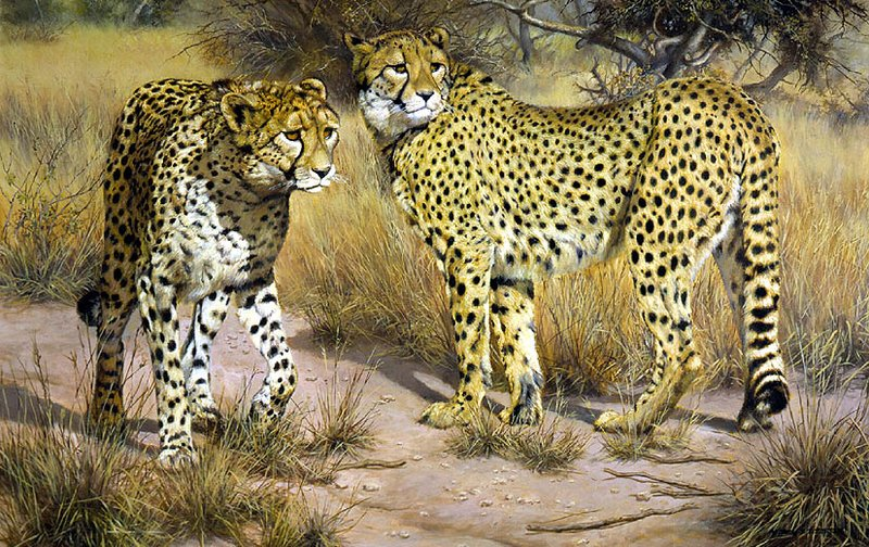 """""""Deadly Intent"""" – Juvenal Cheetah Preparing to Charge -""""Opening A Window On Nature"""".The Wildlife Art of Willem S. deBeer"""